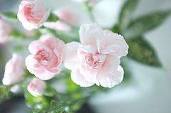 カーネーション carnation