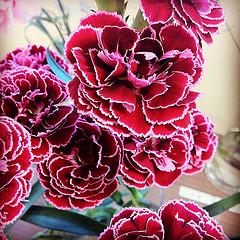 カーネーション バルバドス at.flower
