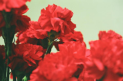 カーネーション(carnation)