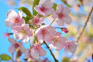 お祝い 桜