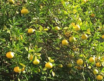 イトラス果実